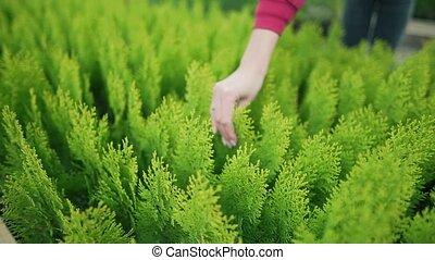 milieu, eigenaar, alhier, vrouw, -, uit, plants., arborvitae., het geven, groene, kleine, verkoop, zakelijk, pa???e?, kiemplant