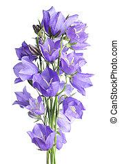 mooi, blauwe bloemen, campanula