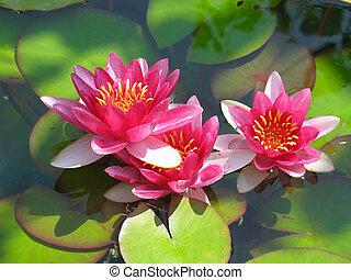 mooi, bloem, lotus, bladeren, water, groene, bloeien, waterplas lelie, rood