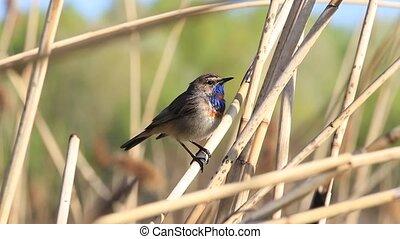 mooi, bluethroat, lied, lente, zingt, vogel