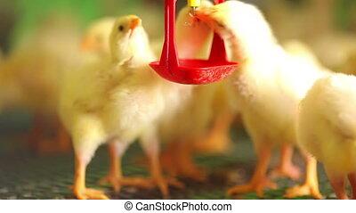 mooi, boerderij, kippen