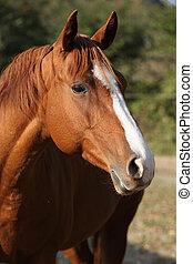 mooi, kastanje, paarde, kwart, herfst