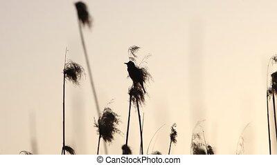mooi, lied, riet, vogel, zingt