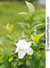 mooi, merr., garden., kaap, ), (, bladeren, jasmijn, op, augusta, bloem, groene, gardenia, afsluiten, witte , (l.), of