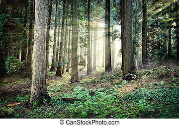 mooi, mysterieus, ondergaande zon , bos