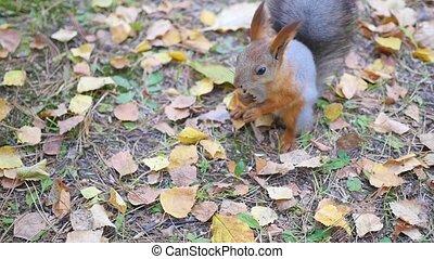 mooi, park, nootjes, eten, squirrel