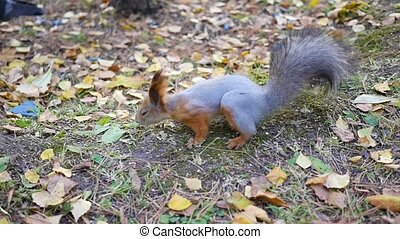 mooi, rennende , park, squirrel
