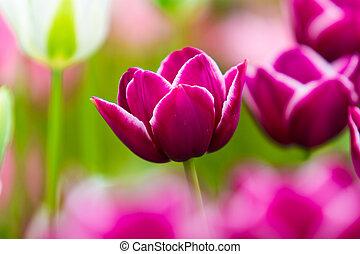 mooi, tulpen, flowers., field., achtergrond, lentebloemen