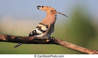 mooi, vogel, lied, zingt, lente, tak