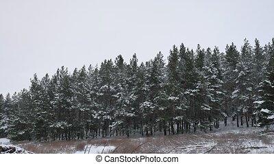 mooi, winter natuur, boompje, sneeuw, pijnboom woud, achtergrond, kerstmis, landscape