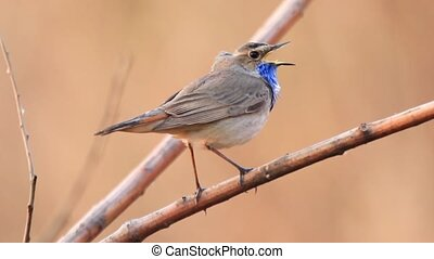 mooi, zingt, zittende , lente, lied, tak, vogel