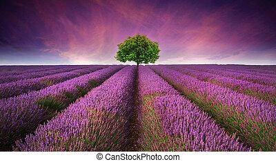mooi, zomer, contrasteren, beeld, boompje, lavendelgebied, kleuren, ondergaande zon , landscape, horizon, enkel