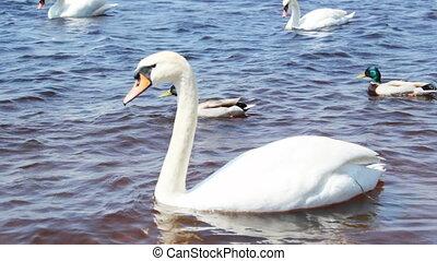 mooi, zwanen, witte , rivier