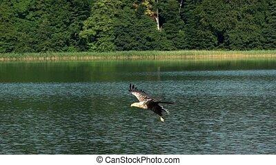 motie, adelaar, vertragen, visserij