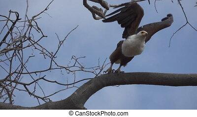motie, haliaeetus, fish-eagle, fantastisch, vliegen, vertragen, afrikaan, vocifer, begin