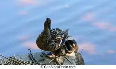 nest, kuikentjes, eend