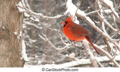 noordelijke kardinaal, winter, storm
