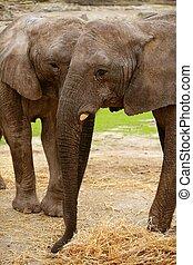 olifanten, terrein, op, klei, achtergrond, afrikaan, gras