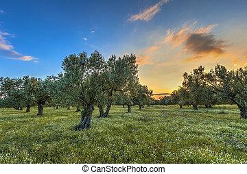 olijf boomgaard, zonopkomst
