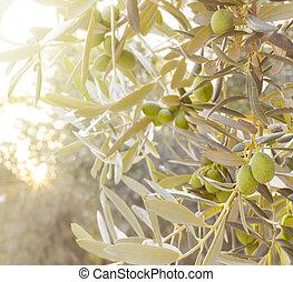 olive, branch., boompje