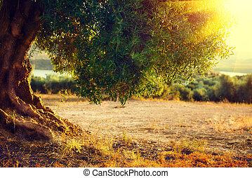 olive, sunset., bomen, middellandse zee, plantatie, bomen.