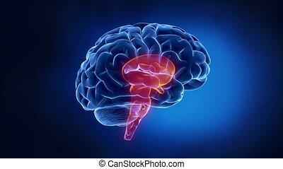 onderdelen, uitleg; verklaring, hersenen