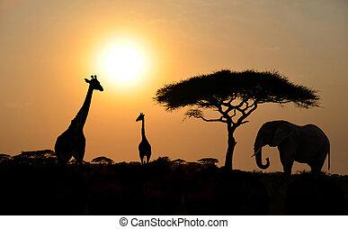 ondergaande zon , acacia, elefant, boompje, giraffes