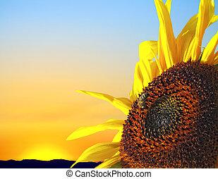 ondergaande zon , zonnebloem