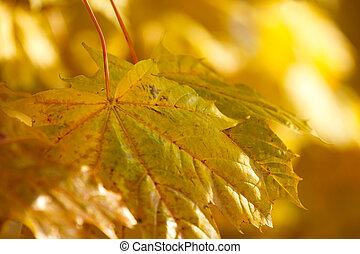 ondiep, achtergrond, zeer, brandpunt, herfst