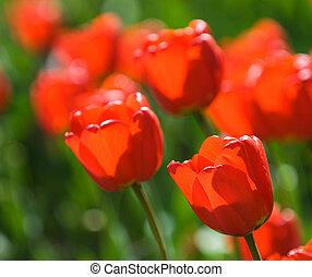 ondiep, rood, tulpen, brandpunt