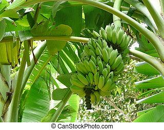onrijp, palm, bananen, banaan