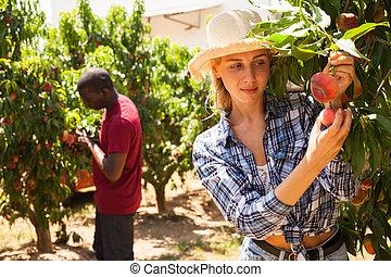 oogst, farmer, vrouw, perziken