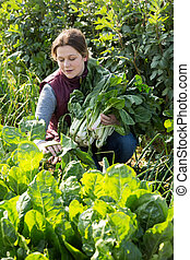 oogst, vrouw, reus, snijbiet