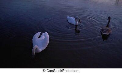 op, zwanen, afsluiten, witte , roeien, meer, zwemmen
