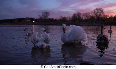 op, zwanen, witte , roeien, meer, afsluiten, zwemmen