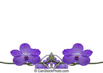 orchidee, achtergrond, afsluiten, witte , isoleren, op