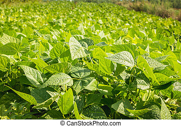 organisch, akker, boon, groene, seedlings, groeiende