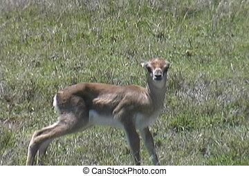 oud, gazelle, op, uren, geboren, alleen, afsluiten, nieuw