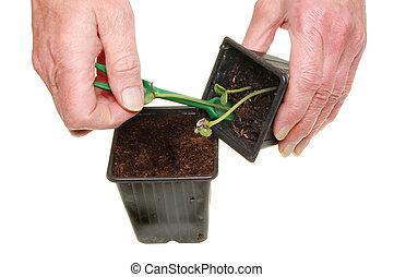 overplanten, seedlings