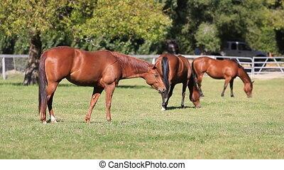 paarden, grazen