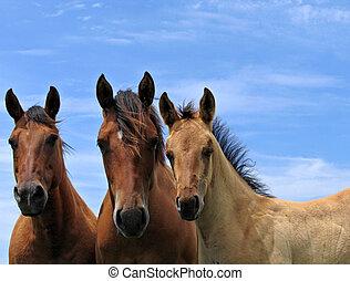 paarden, kwart, drie