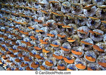 paddenstoel, ganoderma, lucidum, boerderij