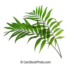 palm loof, boompje, groene, howea