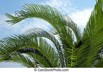 palm-tree, bladeren