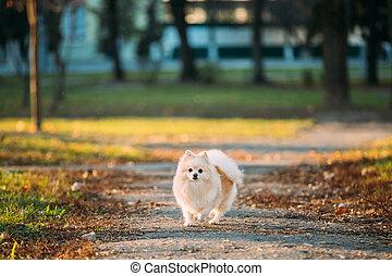 park, dog, lane., witte , spitz, buiten, pomeranian, het poseren, herfst