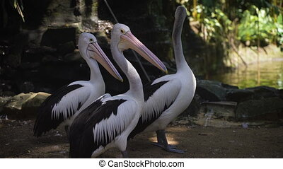 pelicans., zij, zeer, groot, park, drie, sizes., bali., tegen, groene bomen, achtergrond, pelicans, vijver, pond., vogels, habitat.
