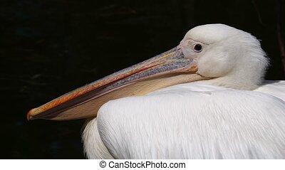 pelikan, zwarte achtergrond