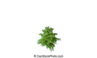 pijnboom, vrijstaand, matte, white., groeiende, alfa