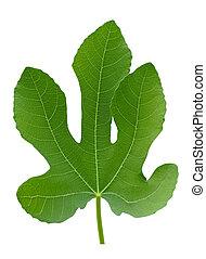 plant, blad, grote boom, vrijstaand, groene vijg, macro