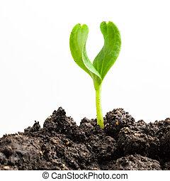 plant, groeiende, groene